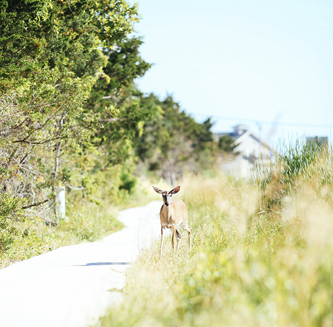 Even a deer made an appearance on the new paved pathway along the road.